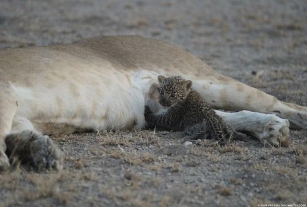 Leona 4 600x404 Por primera vez, una leona silvestre es fotografiada lactando un leopardo bebé