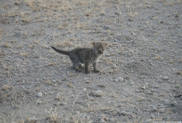 Leona 5 600x404 Por primera vez, una leona silvestre es fotografiada lactando un leopardo bebé