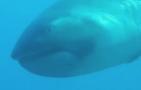 Tiburón Megamouth 300x192 Raro tiburón Megamouth capturado en vídeo