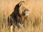 leon xanda 150x114 Cazador se lambió al hijo del león Cecil