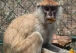 mono 150x105 Invasión de monos en un parque de Florida
