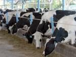 vacas 150x112 RD se prepara pa volver a exportar carne a EEUU