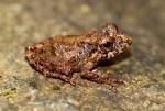 rana maco 150x101 Descubren tres nuevas especies de maco en Perú