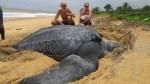 tortuga 150x84 Hallan una tortuga muerta de 1,543 libras en España