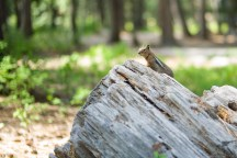 camping site 的花栗鼠一只