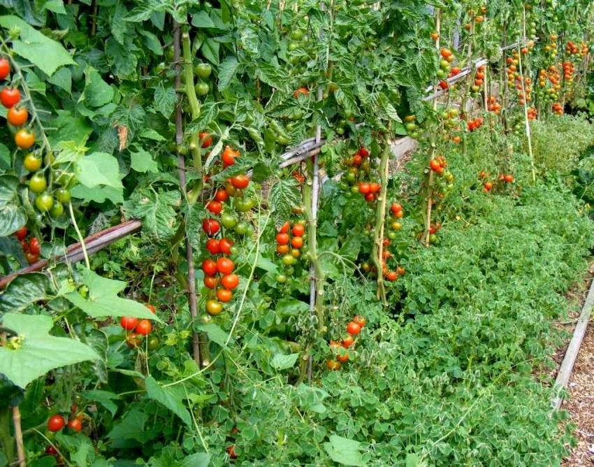 сектантов фото грядок помидоров перцев этом этапе