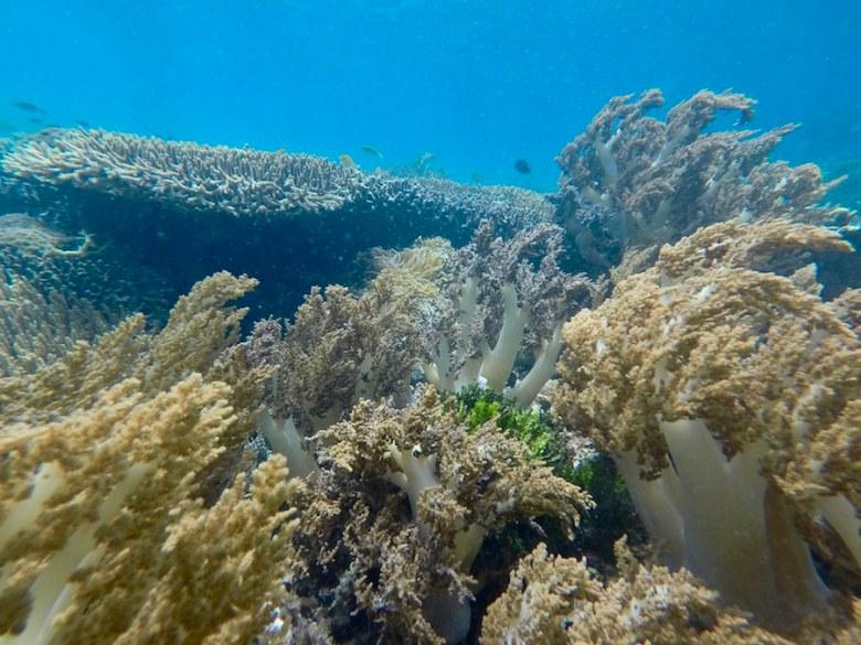 Soft Coral reef Pink Beach Snorkelling Komodo