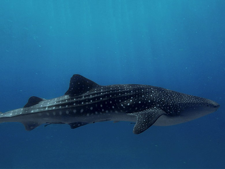 wild whale shark in sogod bay