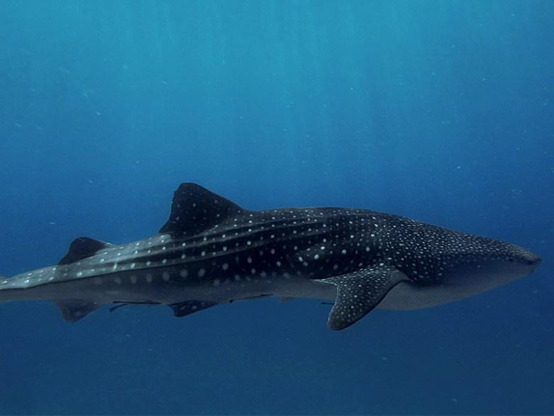 wild whale shark in sogod bay