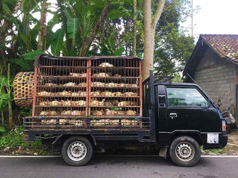 Fresh kampung chickens North Bali