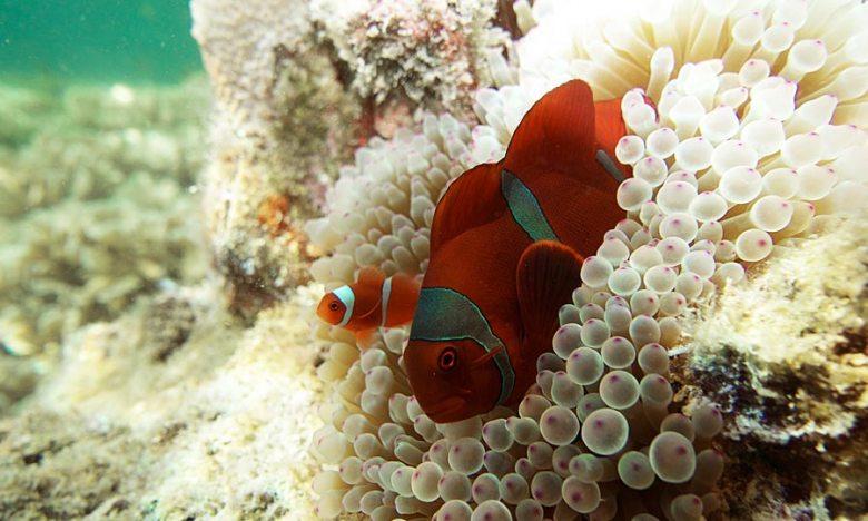 clown fish and anemone in japanese gardens, koh tao