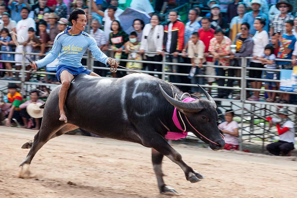 Buffalo 41 - HOLY COW: A Day at Chuhonburi Buffalo Races