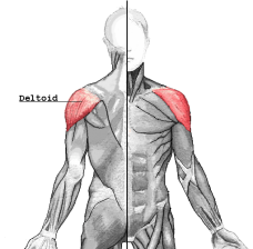 This shoulder workout will develop the Deltoid.