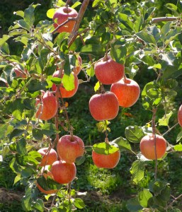 Raw Food DIet Happiness Apples