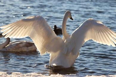 Swan St. Croix River