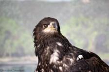 Hoksida the Bald Eagle