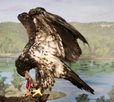 Juvenile Eagle and Snack