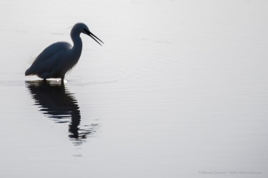 Little egret (Egretta garzetta). Nikon D750, 600mm (Sigma 150-600 ƒ/5-6.3) 1/1000 sec ƒ/7.1 ISO 100