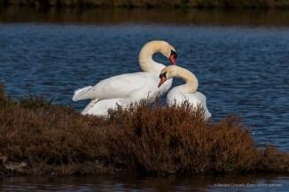 Mute swan (Cygnus olor). Nikon D750, 600mm (Sigma 150-600 ƒ/5-6.3) 1/1600 sec ƒ/13 ISO 800