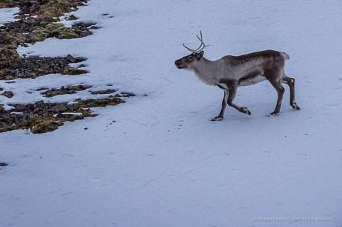 """Reindeer looking for something to eat near Höfn. Nikon D750, 400 mm (80-400 ƒ/4.5-5.6) 1/640"""" ƒ/8 ISO 800"""