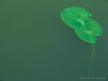 "Lotus leaves, Torbbiera del Sebino, July 2017. Canon Powershot G1 X, 1/13"" ƒ/5.8 ISO 100"