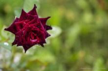 "Black rose. Nikon D810, 105.0 mm (105.0 mm ƒ/2.8) 1/100"" ƒ/4.5 ISO 80"