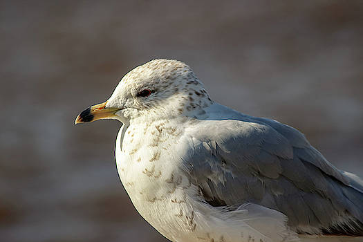 Laura Smith - Seagull Close-up