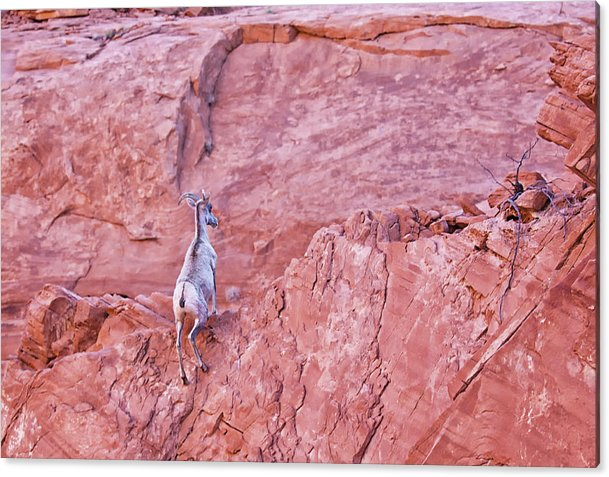 Desert Bighorn Sheep Acrylic Print featuring the photograph Desert Bighorn Sheep At Valley Of Fire by Tatiana Travelways