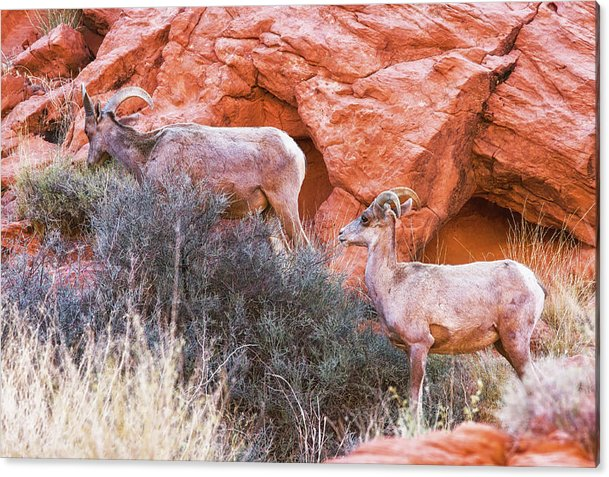 Desert Bighorn Sheep Acrylic Print featuring the photograph Desert Bighorn Sheep by Tatiana Travelways
