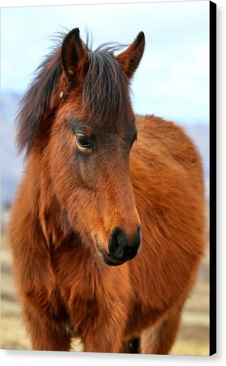 Young Foal Canvas Print featuring the photograph Little Cutie by Maria Jansson