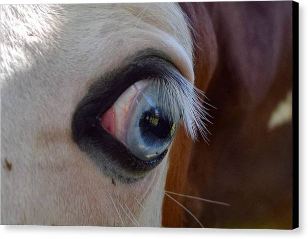 Paint Horses 2015 Canvas Print featuring the photograph Paint Horses 2015 by Maria Jansson