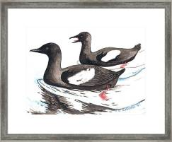 Black Guillemot Framed Print featuring the mixed media Black Guillemot by Art MacKay