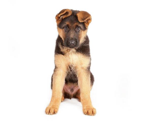 8 weeks puppy of a german shepherd poster