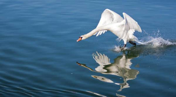 Swan Art Print featuring the photograph Swan Walking On Water - Rhine River Germany by Tatiana Travelways