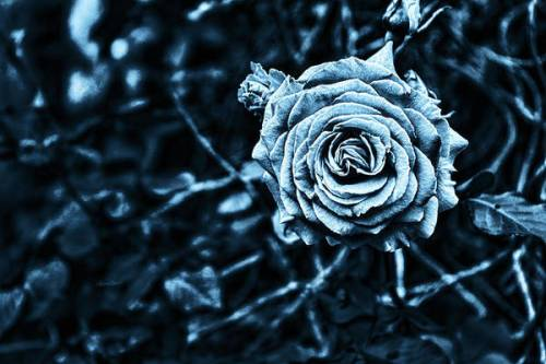 Blue rose image