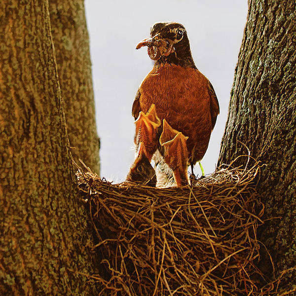 Robin mother in the nest, feeding her chicks - Ontario, Canada