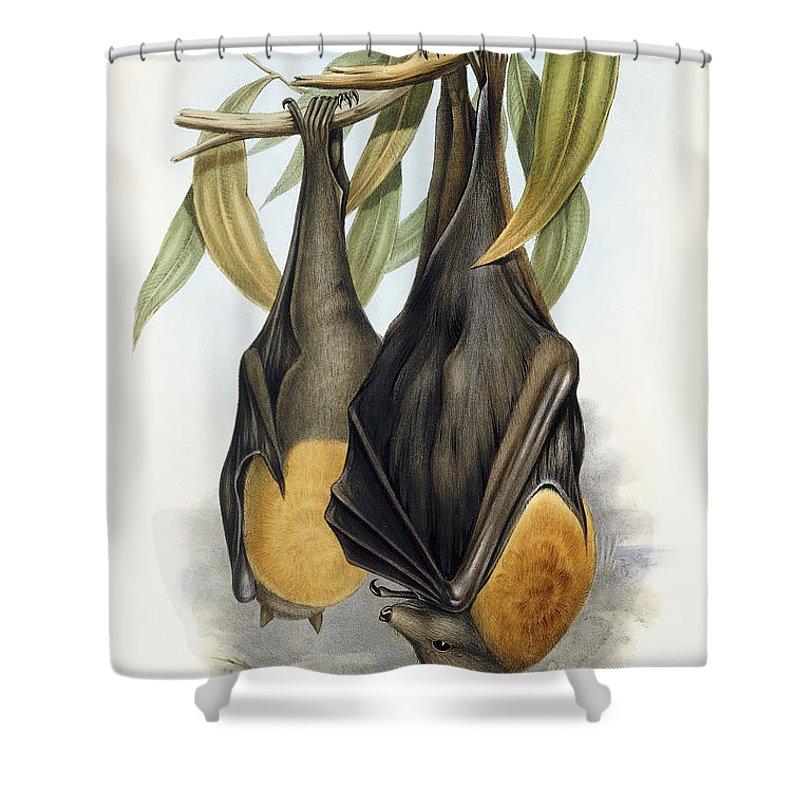 grey headed flying fox pteropus poliocephalus shower curtain