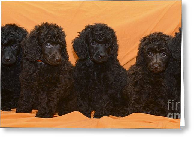 Poodle Greeting Cards Fine Art America