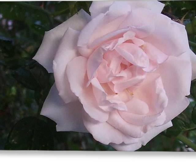 Rose  Greeting Card By Desi Butler