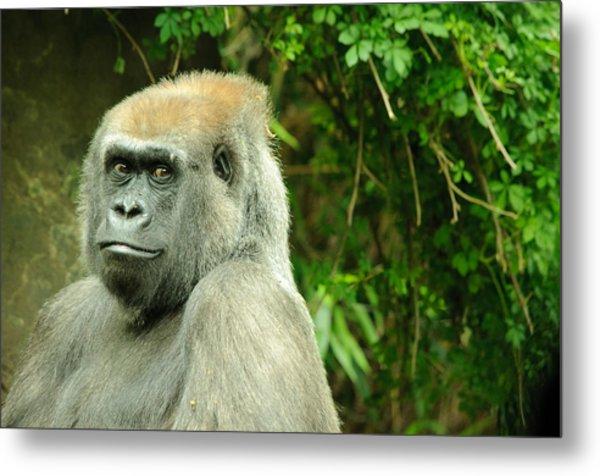 Posing Gorilla Metal Print By Alex Rios