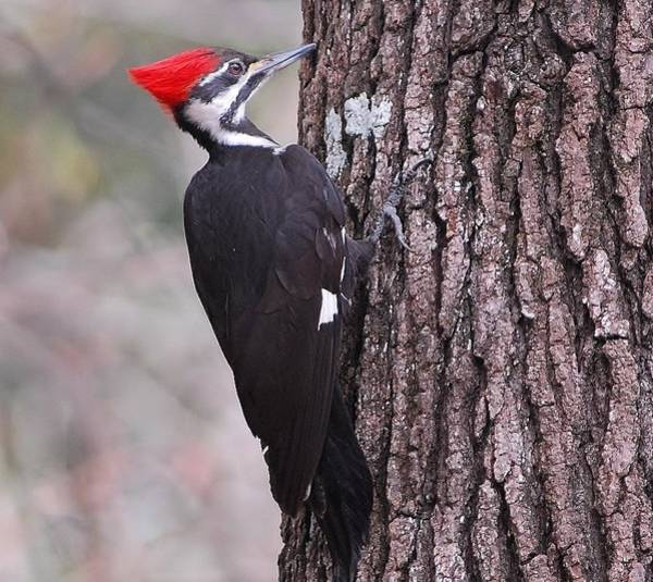 welcome ivorybilled woodpecker - 862×768