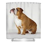 portrait of british bulldog by compassionate eye foundation david leahy