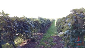 michigan-grapes-for-wine-renespoints-blog-puremichigan-joy-2
