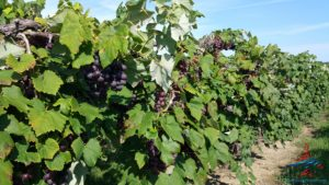 michigan-grapes-for-wine-renespoints-blog-puremichigan-joy-4
