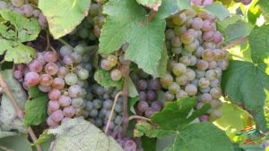 michigan-grapes-for-wine-renespoints-blog-puremichigan-joy-6