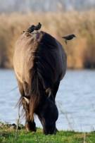 Konikpaard met spreeuwen