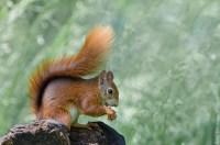 Vlaamse eekhoorn