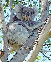 A koala. Photo: Geoff Shaw