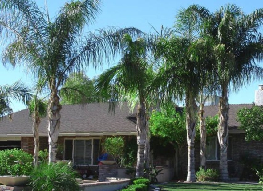 Palm Trees In The Front Yard 01
