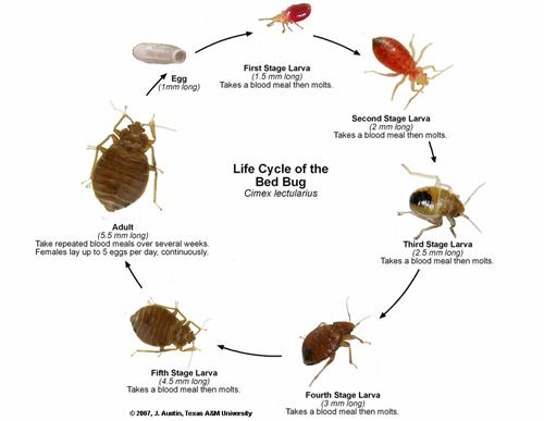 illustrasjon av livssyklus til veggedyr